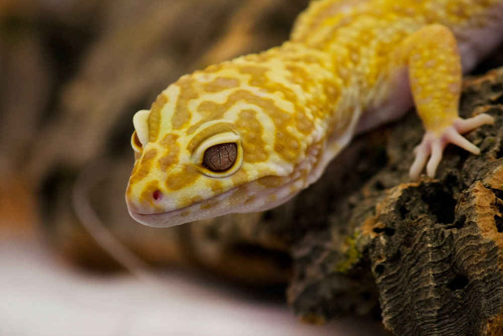 What I Need To Do To Care For A Leopard Gecko Evolution Reptiles