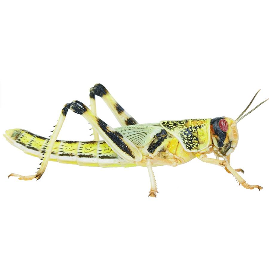 Adult Locusts 60 80mm Evolution Reptiles