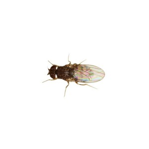 Fruit Flies (Drosophila)