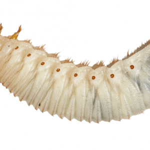 Fruit Beetle Grubs (Pachnoda)