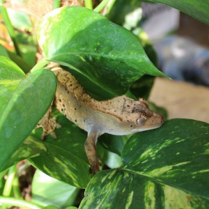 Crested Gecko for sale - Correlophus cilliatus