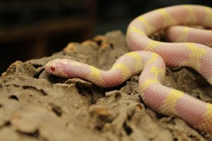 Albino Banded Californian King Snake - Lampropeltis getula californiae