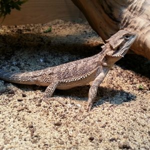 Bearded Dragon - Pogona Vitticeps