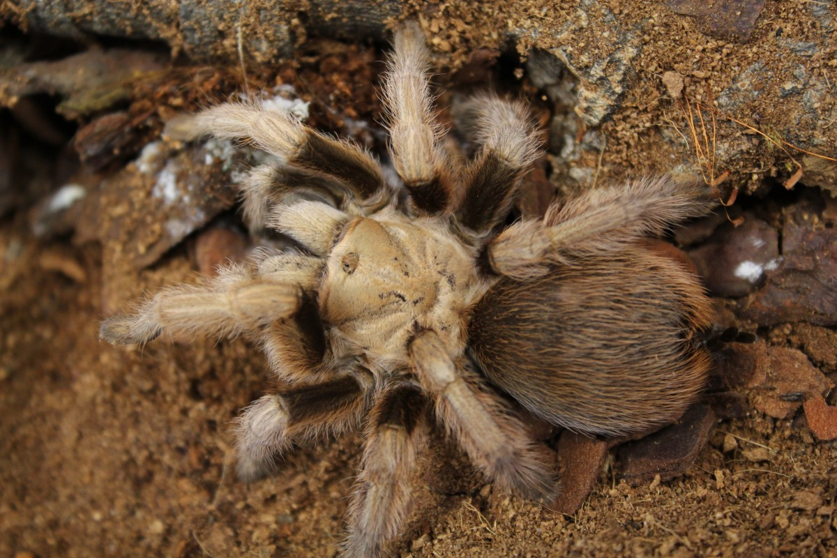 Desert Blonde Aphonopelma Chacoldes Evolution Reptiles