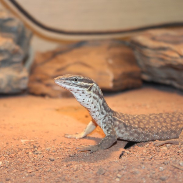 How to Care For Your Spiny Tailed Monitor | Evolution Reptiles