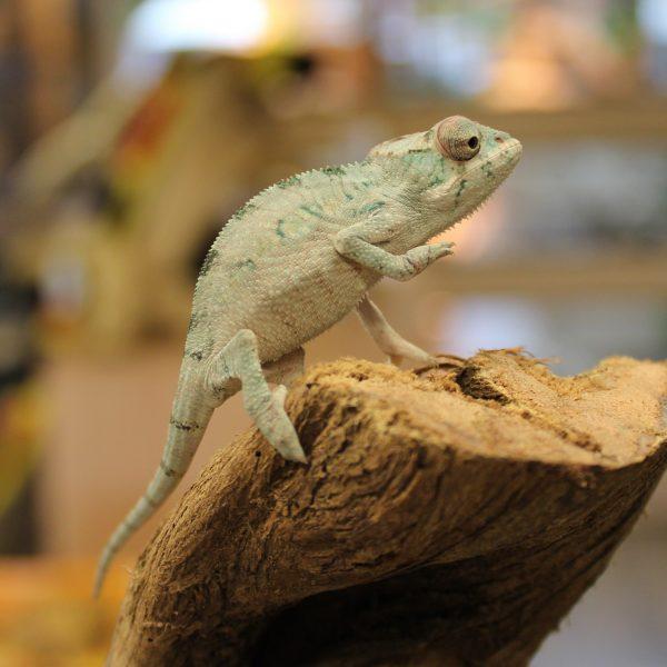 Ambilobe Panther Chameleons Furcifer Pardalis Evolution Reptiles