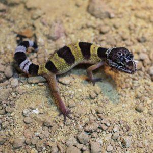 Hatchling Leopard Gecko