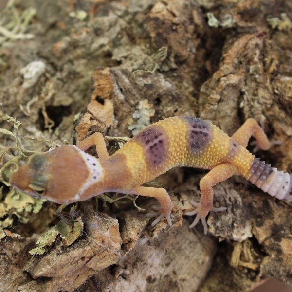 Leopard Gecko - Hatchlings - Eublepharis macularius ...Leopard Gecko Hatchling