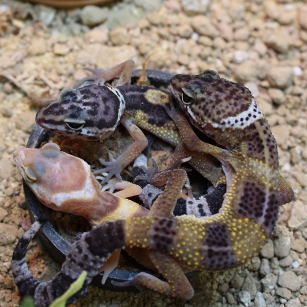 Leopard Gecko - Hatchlings - Eublepharis macularius ...Leopard Gecko Hatchling Care