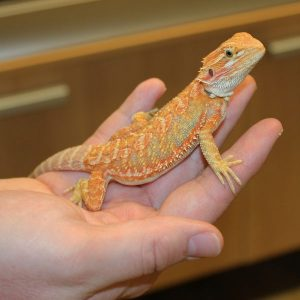 high-yellow-hypo-bearded-dragon-4