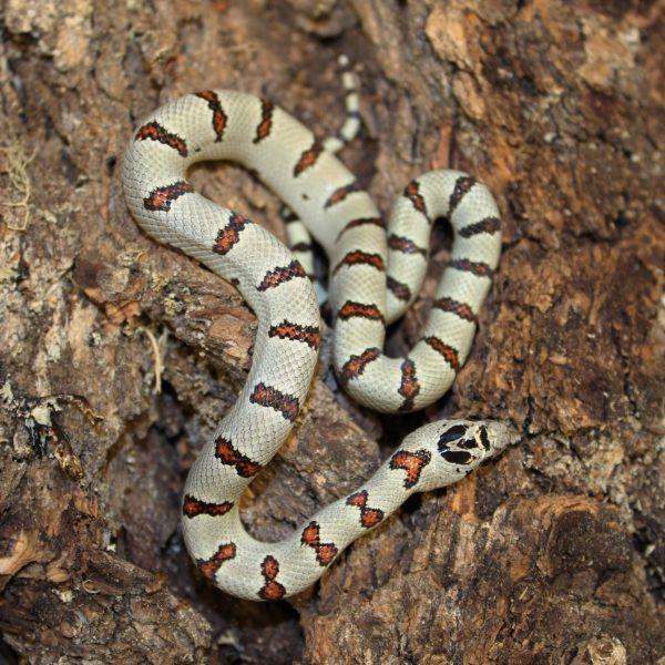 Thayers King Snake Lampropeltis Mexicana Thayeri