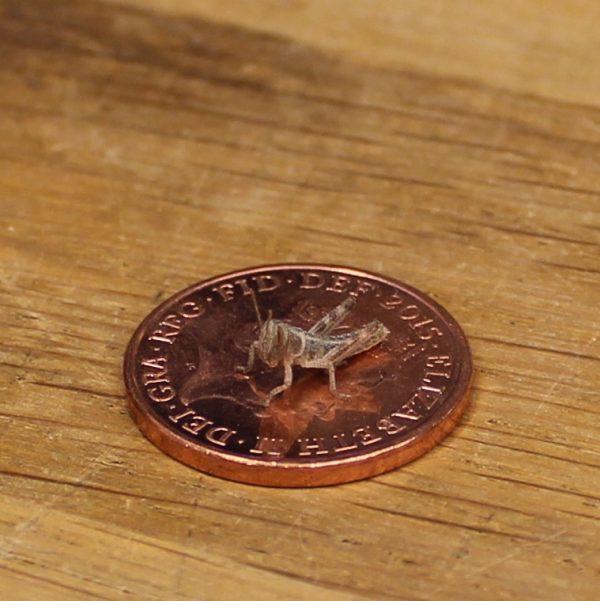 Locust - Hatchling