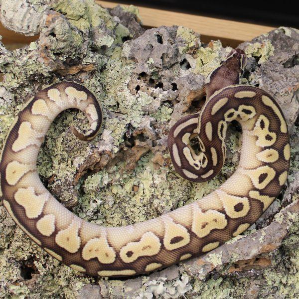 Lesser Pastel Royal Python 1