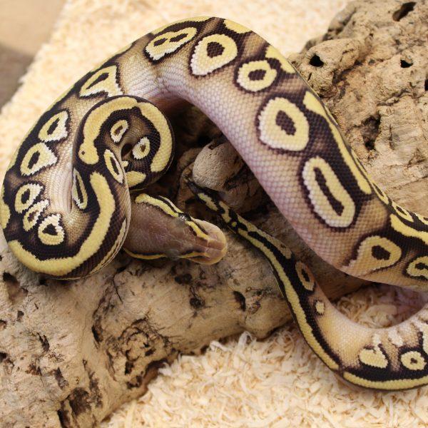 Pastave Royal Python Het Ghost Python Regius