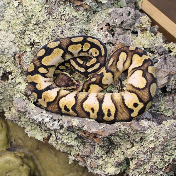 Pastel Calico Royal Python