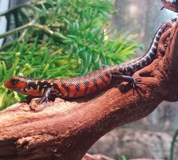 Fire Skink - Lepidothyris fernandi