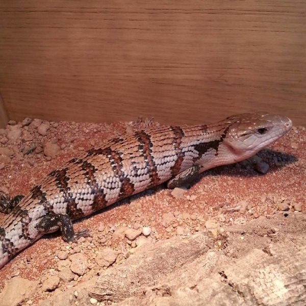 Blue Tongue Skink - Tiliqua gigas
