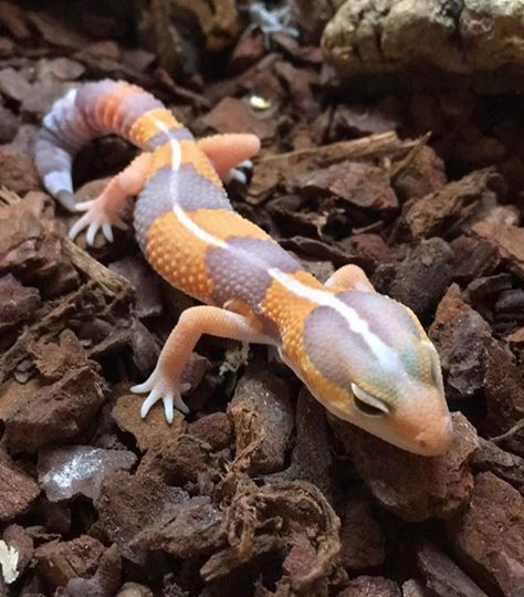 Tangerine Albino African Fat Tailed Gecko – Hemitheconyx caudicinctus