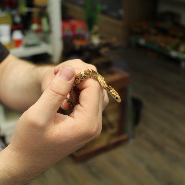 Amber-Corn-Snake-2-e1478011779910-1