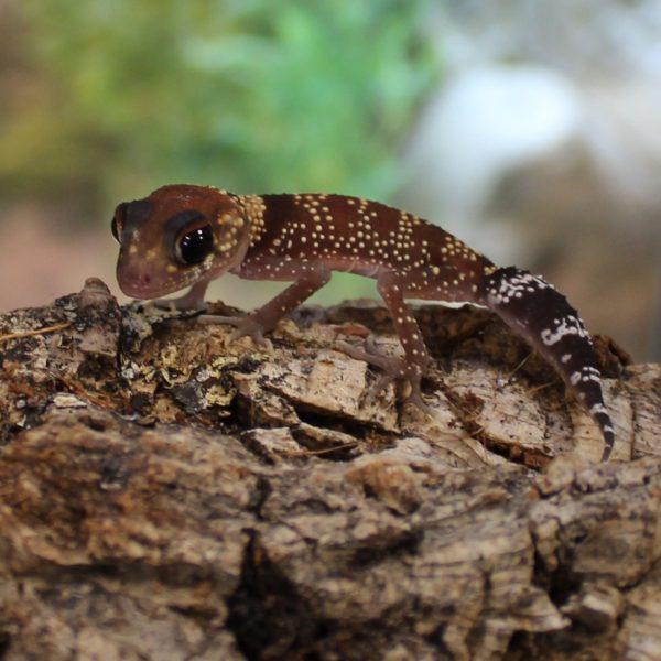 Australian-Barking-Gecko-1
