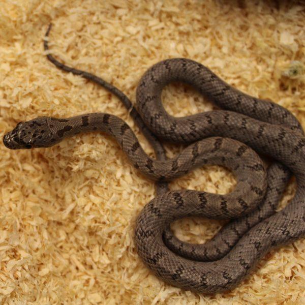 Bairds Rat Snake – Pantherophis bairdi
