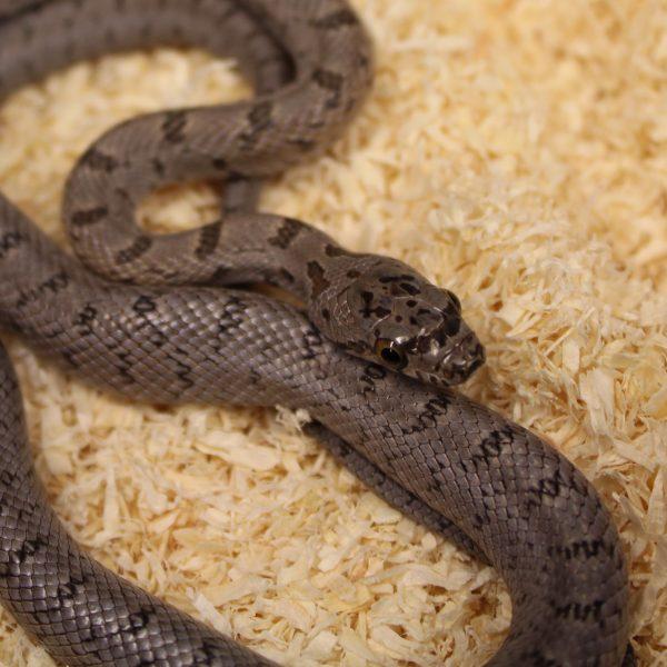 Bairds-Rat-Snake-e1478008365157