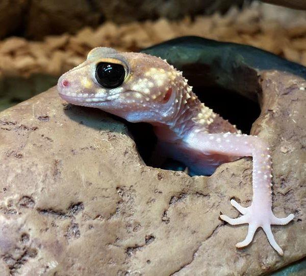 Australian Barking Gecko Nephrurus milii