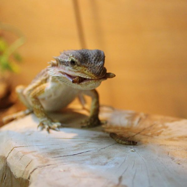 Bearded-Dragon-with-Mealworm-2-e1516188895632-1