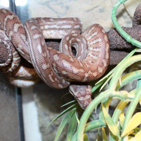 Bredls Python – Morelia bredli