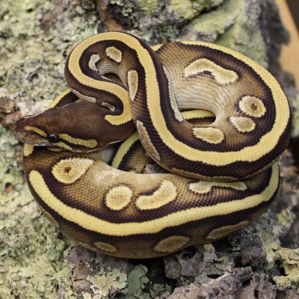 Calico Mojave Royal Python – Python regius