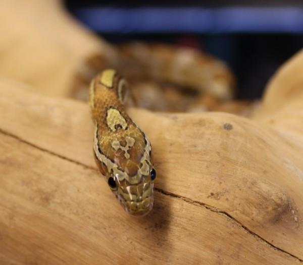 Caramel corn snake