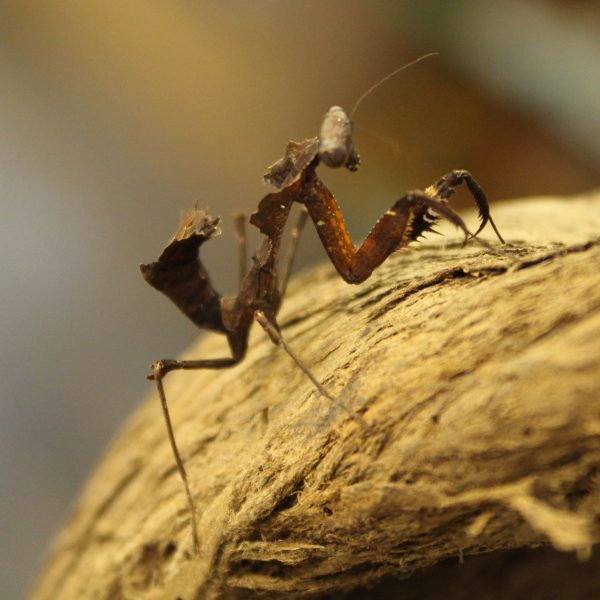 Deroplatys desiccata Dead Leaf Mantis for sale