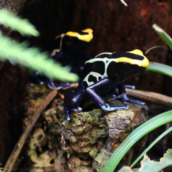 Dyeing-Poison-Dart-Frogs-1-1