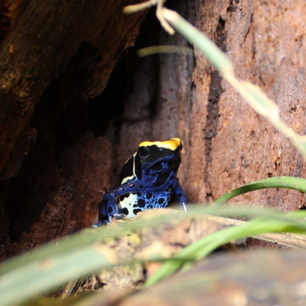 Dyeing-Poison-Dart-Frogs-4-1