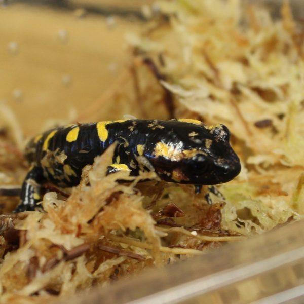 Fire-Salamander-e1476021101689-1