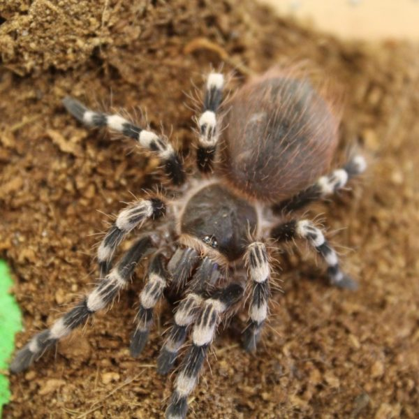 Giant-White-Knee-Tarantula-1-e1455699689237-1