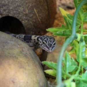Hatchling-Leopard-Gecko1-e1472556330370