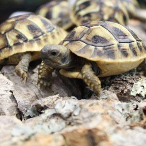 Hermanns Tortoises – Testudo hermanni