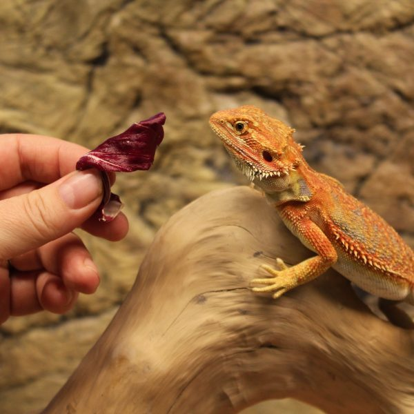 High Red Bearded Dragon – Pogona Vitticeps