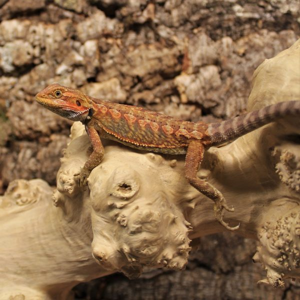 High-Red-Leatherback-Bearded-Dragon-2-e1479217858993-1