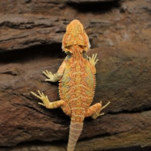 High-Yellow-Hypo-Bearded-Dragon-2-e1479217796784-3