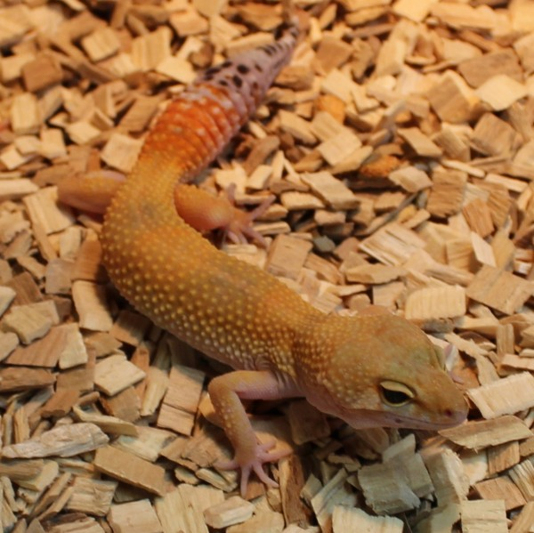 High-Yellow-Leopard-gecko-e1460195321219-1-1
