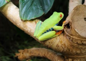 Red Eyed Tree Frogs - Agalychnis callidryas