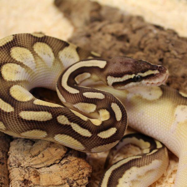 Pastel Lesser Calico Royal Python – Python regius