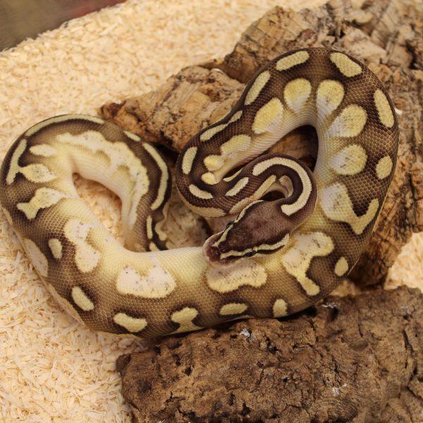 Lesser-Pastel-Calico-Royal-Python-e1487081155766-1