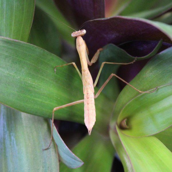 Madagascan Marbled Mantis – Polyspilota Aeruginosa