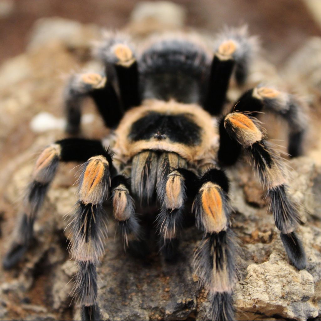 Mexican Red Knee - Adult -– Brachypelma Smithi