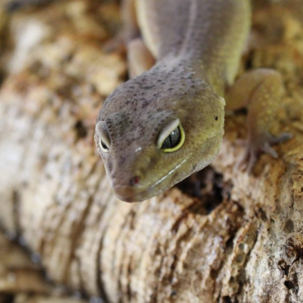 Dark Patternless Leopard Gecko – Eublepharis macularius