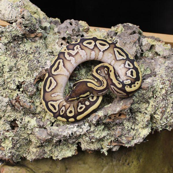 Mojave-Royal-Python-1-e1487080883817-1