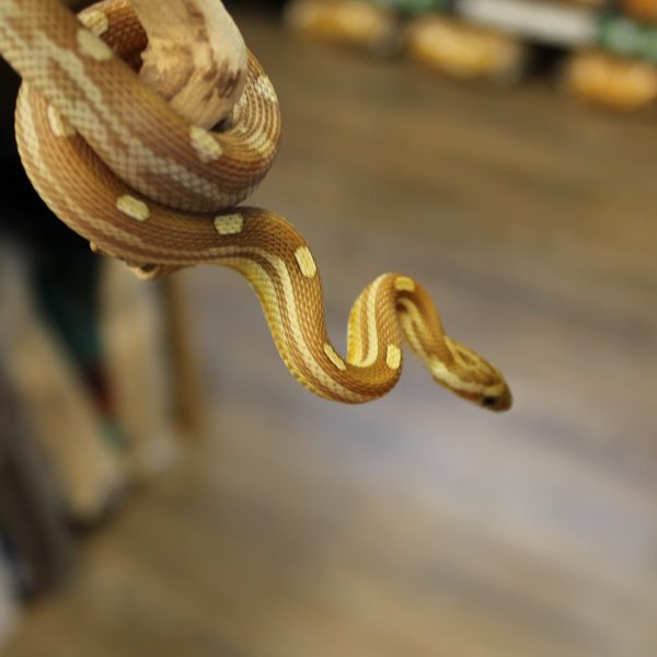 Caramel Motley Corn Snake for sale